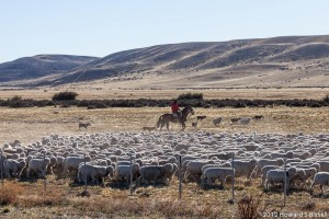 Gaucho and dogs rounding up sheep